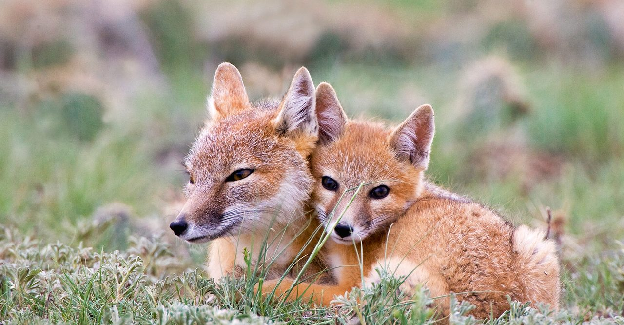 Red fox, Terrestrial animal, Natural landscape, Carnivore, Plant, Whiskers, Fawn