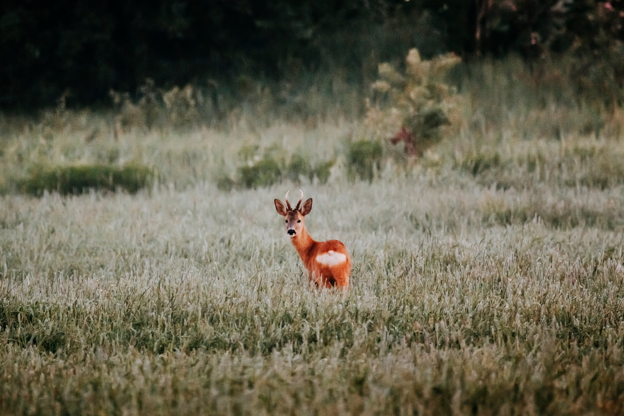 Natural landscape, Terrestrial animal, Plant, Deer, Fawn, Grass, Grassland