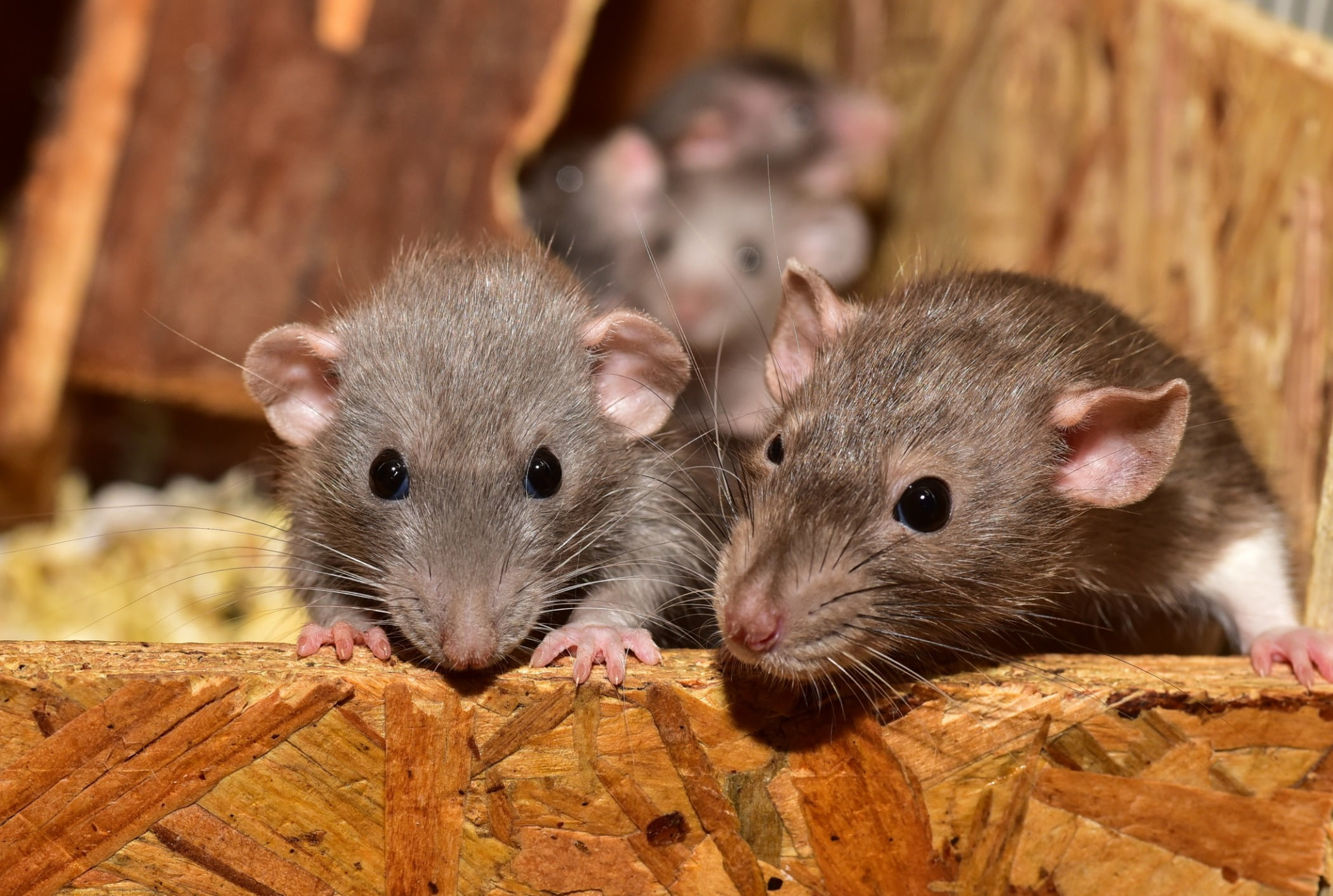 white footed mice, Eye, Rat, Fawn, Rodent