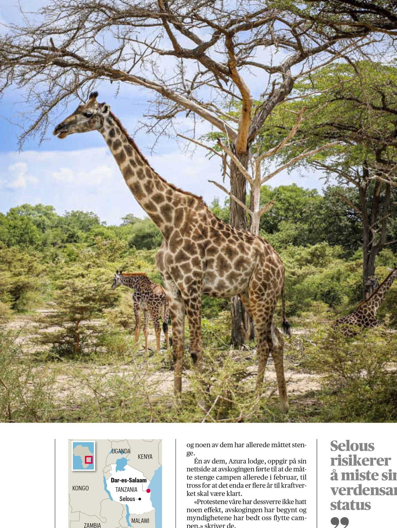 Plant community, Natural landscape, Giraffe, Giraffidae, Sky, Ecoregion, Neck, Tree